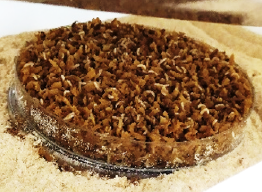 Medfly larvae growing on an artificial diet